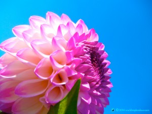 Inspiring vibrant light-filled image of large pink dahlia
