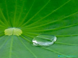 Detail of lotus pad with large water droplet